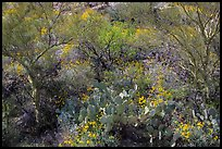 Close-up of desert plants with sun in the spring, Rincon Mountain District. Saguaro National Park ( color)