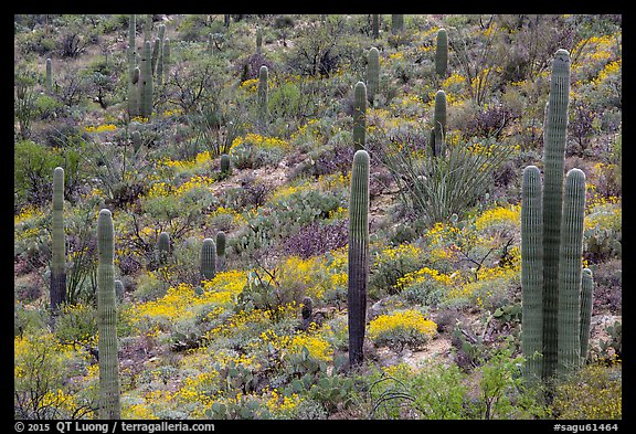Saguaro cacti and brittlebush in bloom, Rincon Mountain District. Saguaro National Park (color)