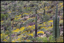 Saguaro cacti and brittlebush in bloom, Rincon Mountain District. Saguaro National Park ( color)