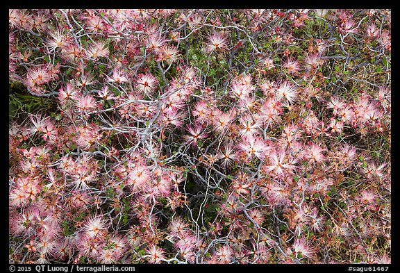 Close-up of blooming desert bush, Rincon Mountain District. Saguaro National Park (color)