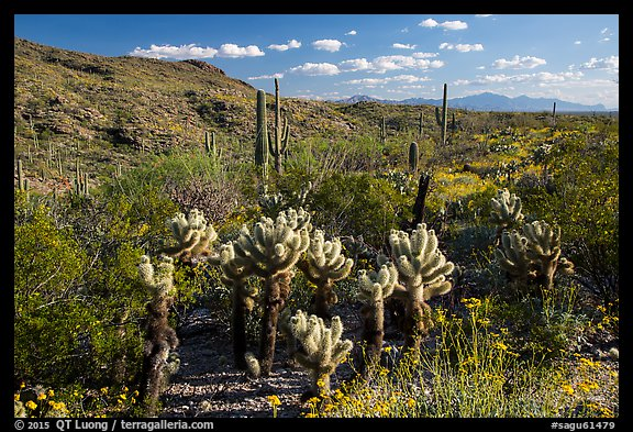 Desert in spring with cholla cactus, Rincon Mountain District. Saguaro National Park (color)