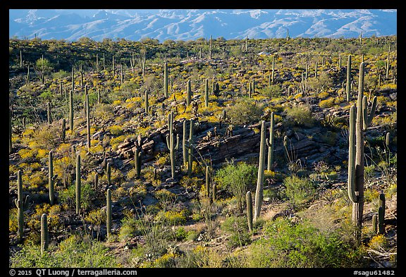 Cactus and  brittlebush on a flat, Rincon Mountain District. Saguaro National Park (color)