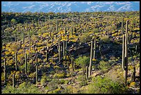 Cactus and  brittlebush on a flat, Rincon Mountain District. Saguaro National Park ( color)