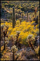 Backlit cholla and saguroa cacti, brittlebush. Saguaro National Park ( color)