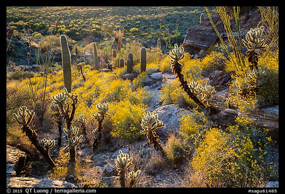 Backlit cactus and brittlebush in bloom, Rincon Mountain District. Saguaro National Park (color)