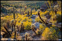 Backlit cactus and brittlebush in bloom, Rincon Mountain District. Saguaro National Park ( color)