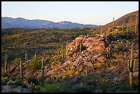 Last light on Sonoran desert, Rincon Mountain District. Saguaro National Park ( color)