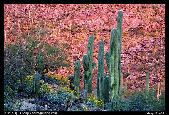 Green saguro cactus and slope painted red by sunset light. Saguaro National Park (color)