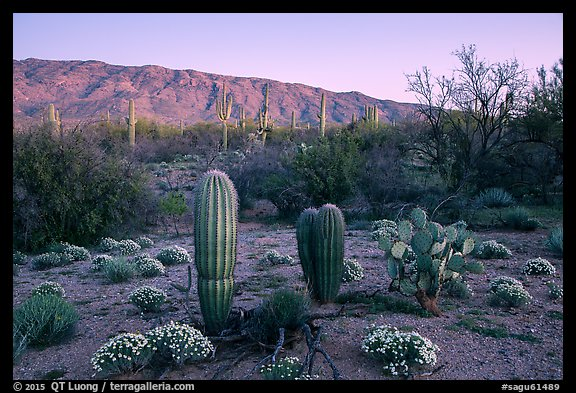 Desert Zinnia flowers, cactus, and Rincon Mountains at sunset. Saguaro National Park (color)