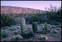 Desert Zinnia flowers, cactus, and Rincon Mountains at sunset. Saguaro National Park ( color)