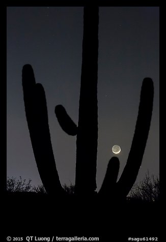 Crescent moon setting over saguaro cactus, Rincon Mountain District. Saguaro National Park (color)
