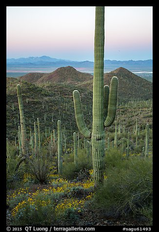 Saguaro cactus and Red Hills at dawn. Saguaro National Park (color)