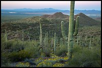 Saguaro cactus forest in the spring from hillside at dawn. Saguaro National Park ( color)