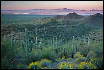 Saguaro cactus forest and Red Hills at sunrise. Saguaro National Park ( color)