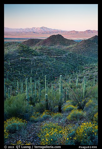 Saguaro cactus forest, Red Hills, and Kit Peak at sunrise. Saguaro National Park (color)