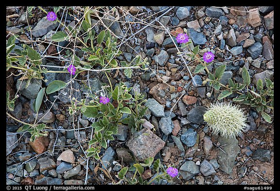 Ground close-up with blooming flowers and fallen cholla cactus. Saguaro National Park (color)