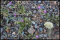 Ground close-up with blooming flowers and fallen cholla cactus. Saguaro National Park ( color)