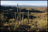 Cactus forest from Tucson Mountains. Saguaro National Park ( color)