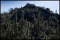 Backlit saguro cacti and hill. Saguaro National Park ( color)