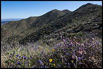 Annual wildflowers and Amole Peak. Saguaro National Park ( color)