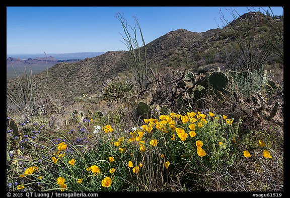 Poppies, cactus, Amole and Wasson Peaks. Saguaro National Park (color)