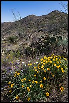 Poppies, cactus, and Tucson Mountains. Saguaro National Park ( color)