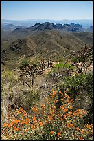 Wildflowers and Tucson Mountains. Saguaro National Park ( color)
