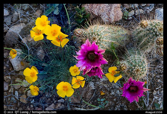 Close-up of hedgehodge cactus in bloom and poppies. Saguaro National Park (color)