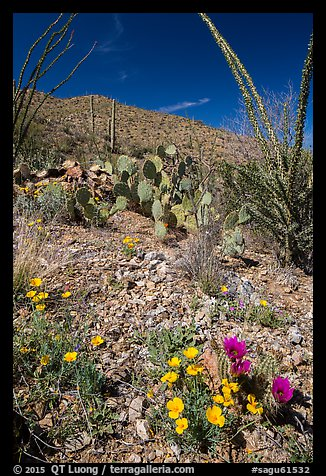 Blooming poppies, cacti, ocotillo, and peak. Saguaro National Park (color)