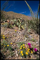 Blooming poppies, cacti, ocotillo, and peak. Saguaro National Park ( color)