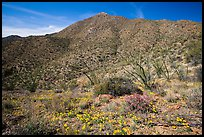 Wildflower carpet and Tucson mountains. Saguaro National Park ( color)