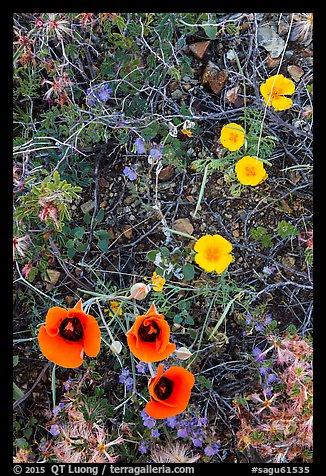 Close-up of multicolored annual flowers. Saguaro National Park (color)
