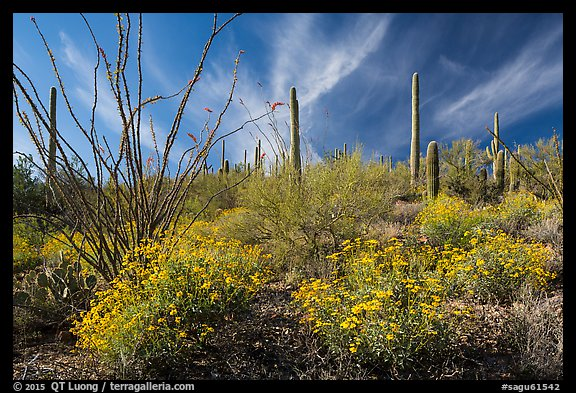 Brittlebush, saguaro, and clouds. Saguaro National Park (color)