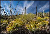 Brittlebush, saguaro, and clouds. Saguaro National Park ( color)