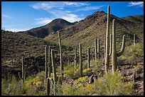 Cactus forest and rocky desert mountains. Saguaro National Park ( color)