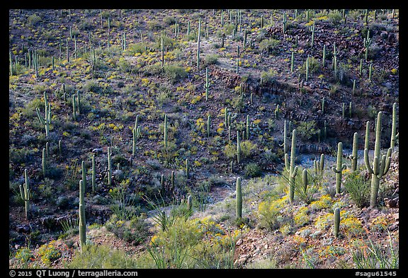 Wash and slopes with cactus and brittlebush. Saguaro National Park (color)
