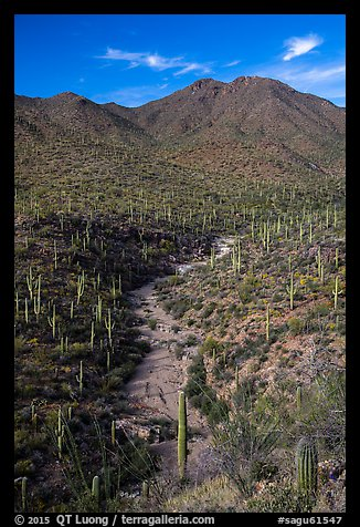 Wash surrouned by innumerable cacti, and Wasson Peak. Saguaro National Park (color)