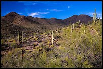 Palo Verde, cacti, and Wasson Peak. Saguaro National Park ( color)