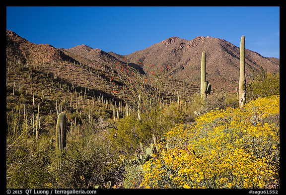 Blooming brittlebush and slopes covered with cactus, Tucson Mountains. Saguaro National Park (color)