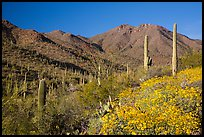 Blooming brittlebush and slopes covered with cactus, Tucson Mountains. Saguaro National Park ( color)
