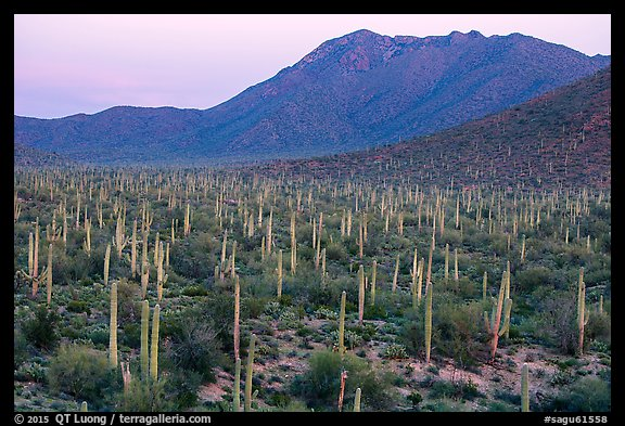 Bajada with cactus forest and Tucson Mountains at dusk. Saguaro National Park (color)