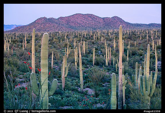Bajada covered with cactus and Tucson Mountains at dusk. Saguaro National Park (color)