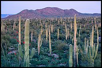 Bajada covered with cactus and Tucson Mountains at dusk. Saguaro National Park ( color)