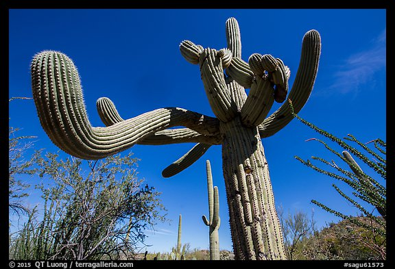 Saguaro cactus with multiple twisted arms. Saguaro National Park (color)