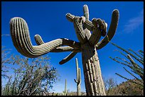 Saguaro cactus with multiple twisted arms. Saguaro National Park ( color)
