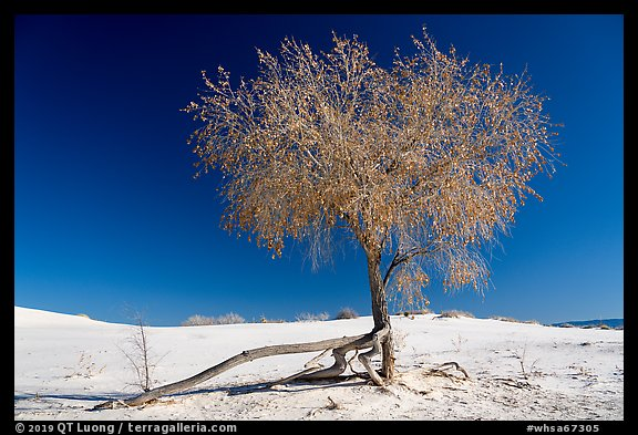 Rio Grande Cottonwood tree (Populus deltoids subspecies wizlizenii) in late autumn. White Sands National Park (color)