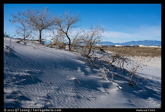Dunes with Rio Grande Cottonwood trees. White Sands National Park (color)