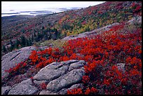 Shrubs and granite slabs on Cadillac mountain. Acadia National Park, Maine, USA.