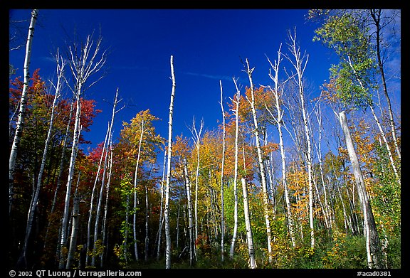 Forest of White birch trees. Acadia National Park (color)