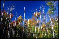 Forest of White birch trees. Acadia National Park, Maine, USA.